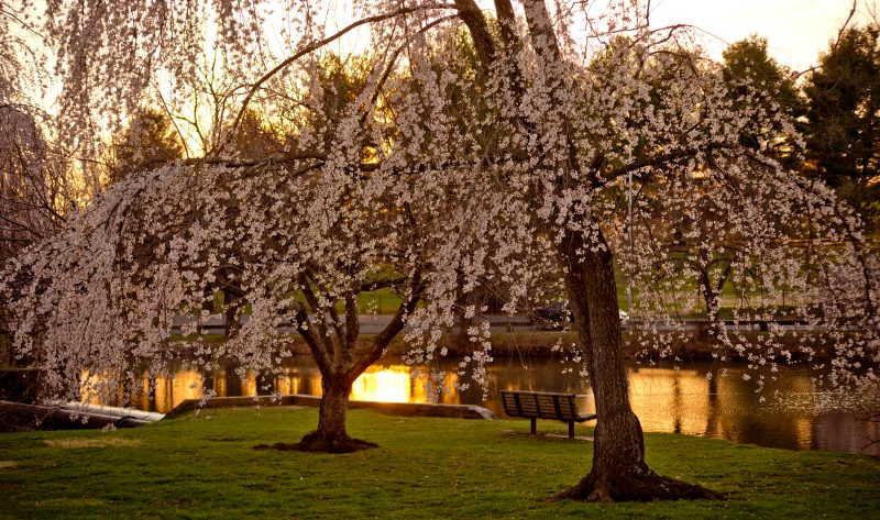 Cherry blossoms in full bloom at the Duck Pond.
